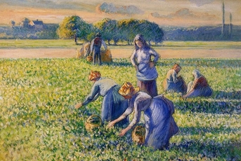 the pea harvest
